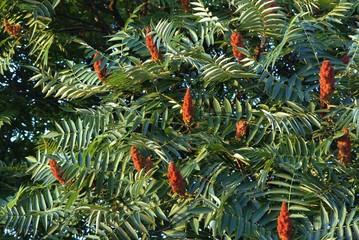 brown flowers of sumac tree