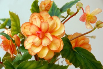 orange flowers of begonia pot-plant