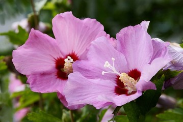 pink and red flowers of hibiscus bush in a garden