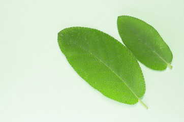 sage leaves, salvia officinalis