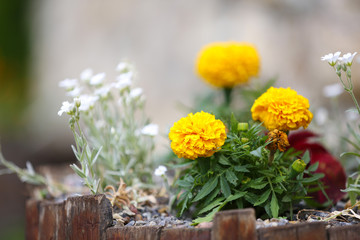 Beautiful Marigolds, outdoors