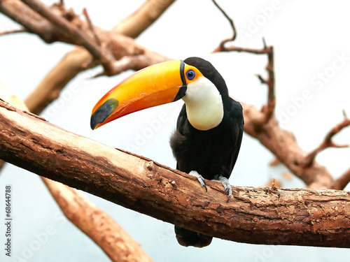 Poster Toekan Toco Toucan (Ramphastos toco)