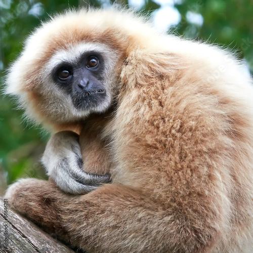 Plagát, Obraz Lar gibbon (Hylobates lar)