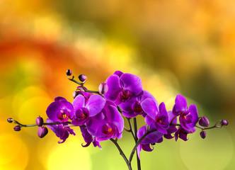 fuchsia orchid flower on blur background