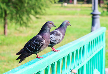 Two pigeons on the bridge