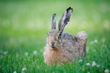 Rabbit lying down on a grass