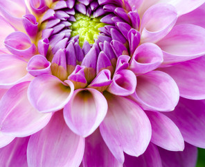 Closeup on pink dahlia flower