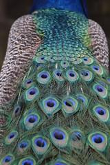 Indian Peafowl / Blue Peafowl / Pavo Cristatus