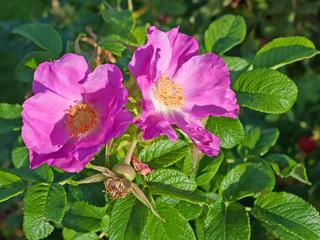 Kartoffelrose - Blüten