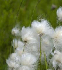 Alaska Cotton 2