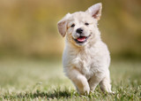 Fototapety Playful golden retriever puppy
