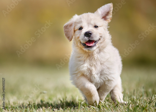 Playful golden retriever puppy poster