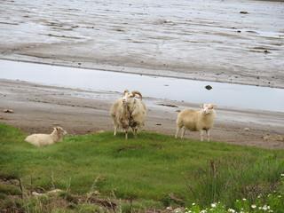 Mouton islandais