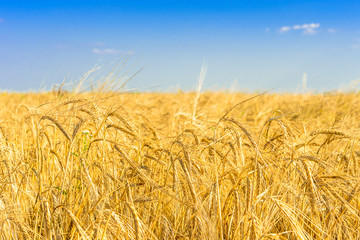 golden wheat on the field with blue sky