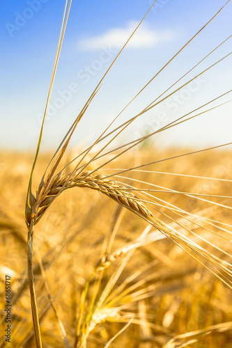 golden spikes of wheat on the field, soft focus