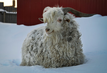 The Angora goat in winter at farm