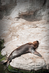 Fur seal sea lion relaxing tanning
