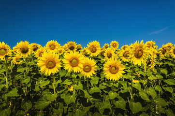 Beautiful landscape with sunflower field over blue sky