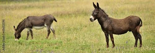 Plexiglas Ezel donkey
