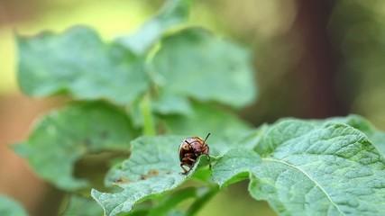 Colorado potato beetle on green leafs