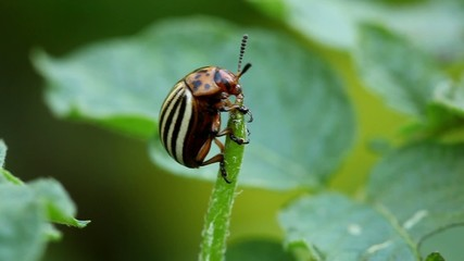 Colorado potato beetle on green leafs