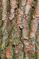 赤松の樹皮