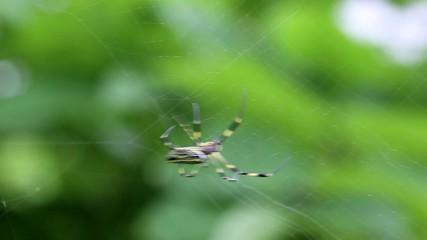巣を作るジョロウグモの亜成体