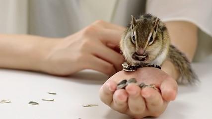手からひまわりの種を食べるシマリス