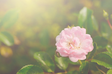 Soft photo of a beautiful rose