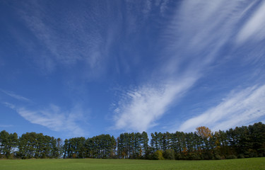 A row of coniferous trees and a blue sky with wispy clouds.