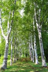 北見の白樺並木