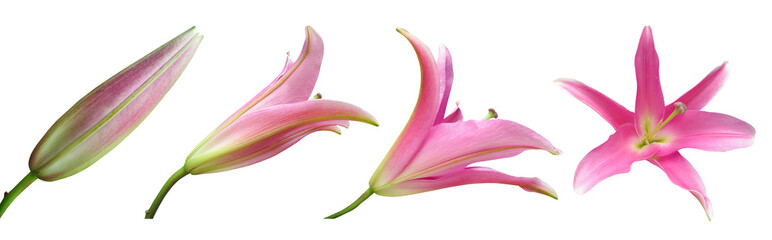 Lily flower Stages