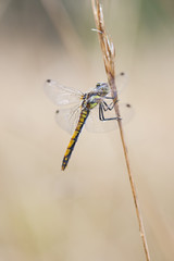 Wet dragonfly on a plant straw