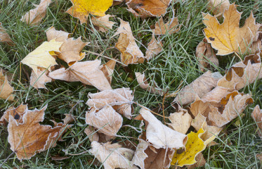Detail of Autumn Frost
