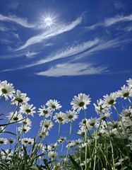daisies on a background of blue sunny sky