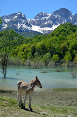 Foal in the spring mountain