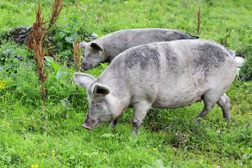 Gray domestic pig and calf.