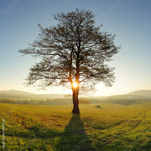 Alone tree on meadow at sunset with sun and mist - panorama