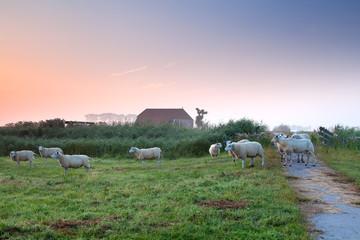 sheep on Dutch farmland by farmhouse
