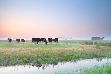 cattle on pasture at sunrise