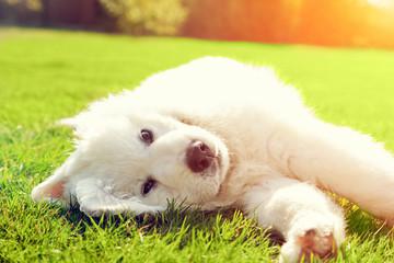 Cute white puppy dog lying on grass. Polish Tatra Sheepdog