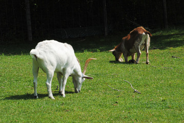 A Brown and a White Goat Grazing in a Grassy Field