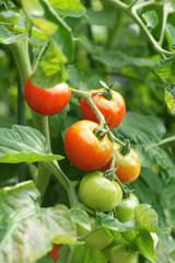 Gartentomaten
