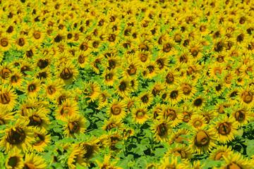 Summer - field of sunflowers