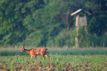 Roe deer with watchtower in the background