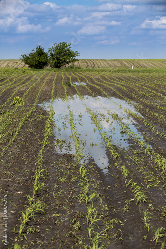 Leinwanddruck Bild Agricultural disaster, flooded corn maize crops.