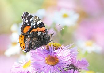 Admiral Schmetterling und Sommerblumen