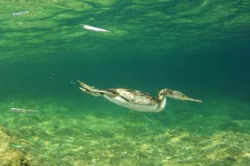 Cormorant bird swimming underwater