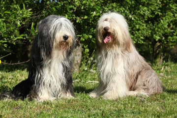 Bearded Collie sitting in the garden