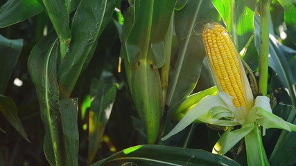Corn Cob in Cultivated agricultural Field before the harvest